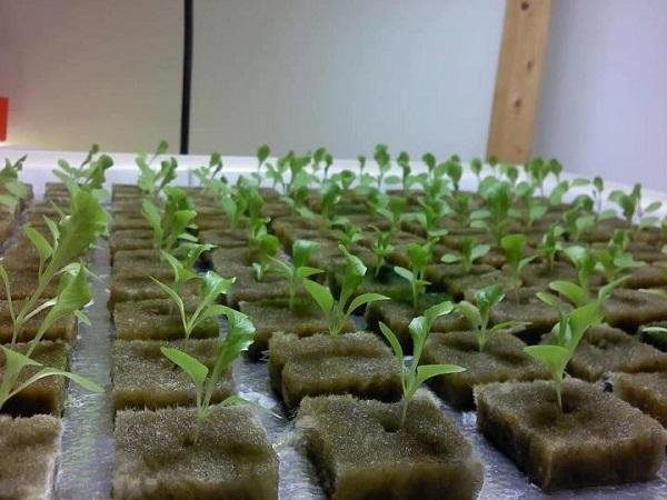 Tips Menanam Sayuran Hidroponik